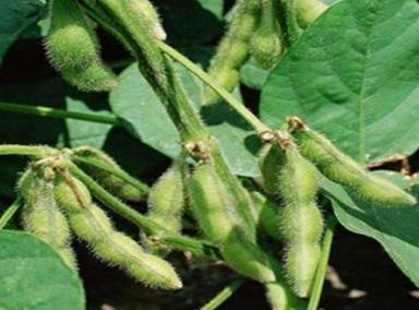 GLIP Glycine max (L. Merill) plant