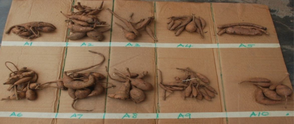GLIP Tubers of accessions of African yam bean (Sphenostylis stenocarpa)