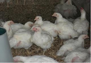 LIP Broiler Chickens