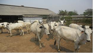 LIP Bunaji breed (White Fulani)