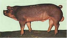 LIP Duroc breed