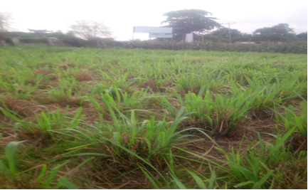 LIP One of the Paddocks containing Guinea grass (Panicum maximum)