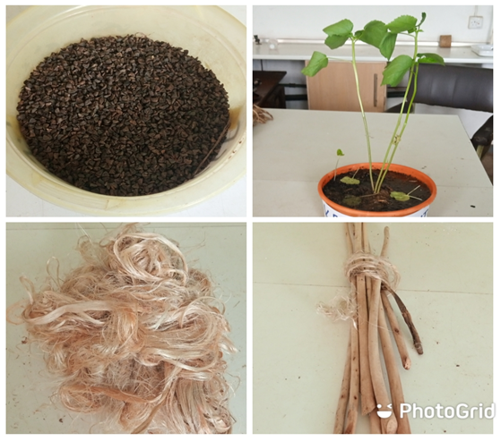 kjipproduct1Kenaf Seeds, Kenaf Seedling, Kenaf Retted Dried Basr Fiber and Kenaf Core Fiber