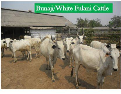 Bunaji-white Fulani