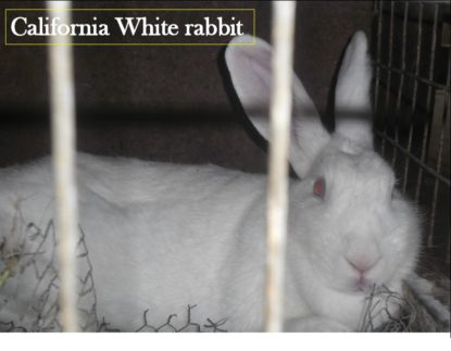 California white rabbit